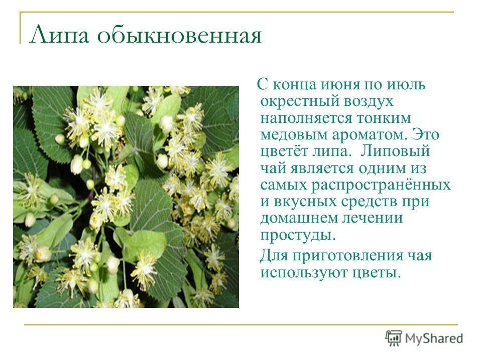 Липа обыкновенная С конца июня по июль окрестный воздух наполняется тонким медовым ароматом. Это цветёт липа. Липовый чай является одним из самых распространённых и вкусных средств при домашнем лечении простуды. Для приготовления чая используют цветы