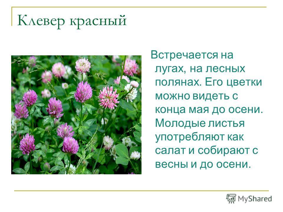 Клевер красный Встречается на лугах, на лесных полянах. Его цветки можно видеть с конца мая до осени. Молодые листья употребляют как салат и собирают с весны и до осени.