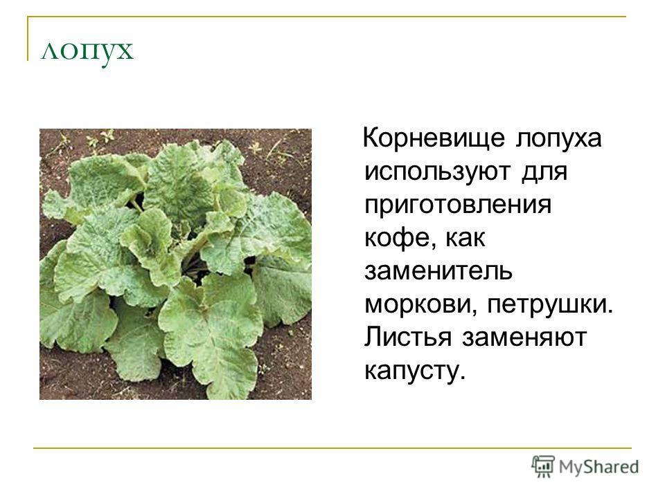 лопух Корневище лопуха используют для приготовления кофе, как заменитель моркови, петрушки. Листья заменяют капусту.