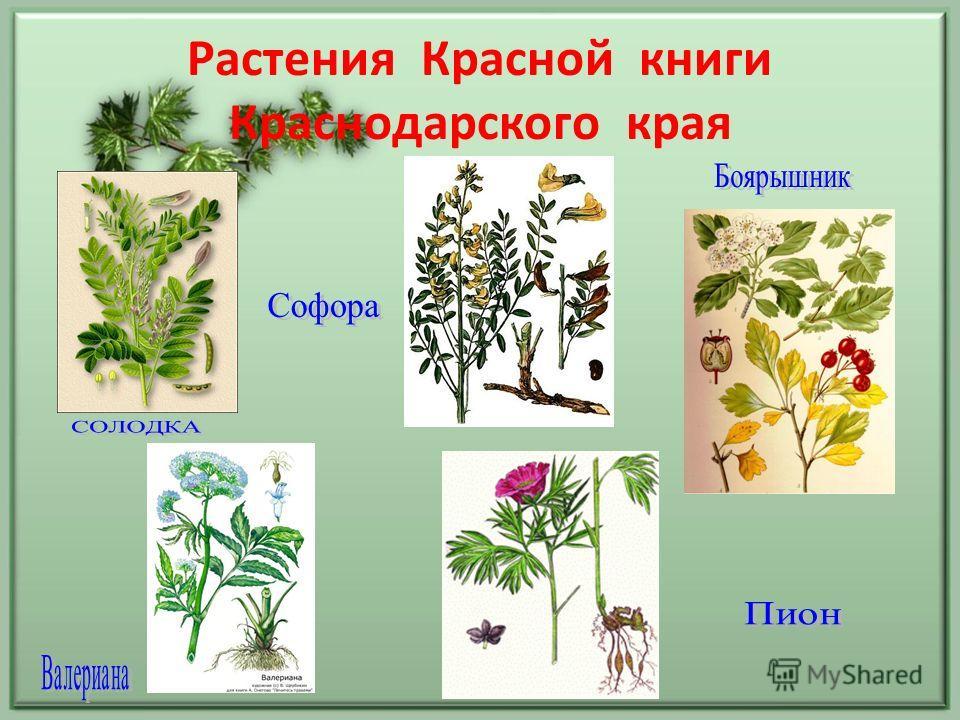 Растения Красной книги Краснодарского края