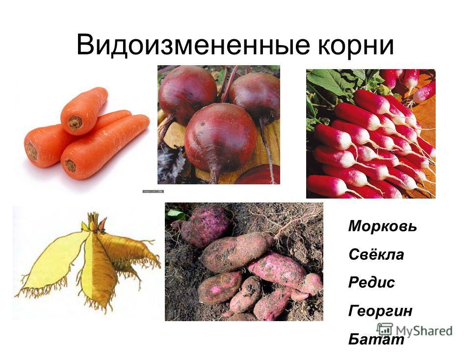 Видоизмененные корни Морковь Свёкла Редис Георгин Батат