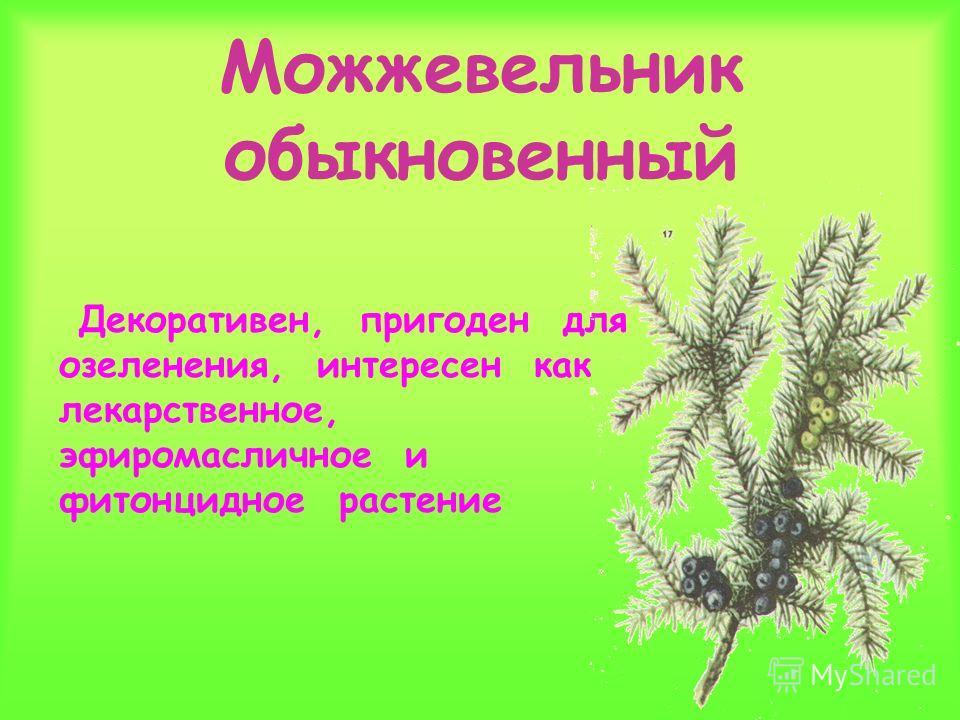 Можжевельник обыкновенный Декоративен, пригоден для озеленения, интересен как лекарственное, эфиромасличное и фитонцидное растение