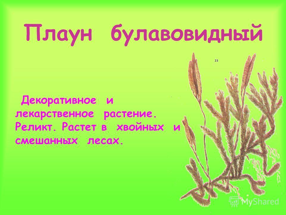 Плаун булавовидный Декоративное и лекарственное растение. Реликт. Растет в хвойных и смешанных лесах.