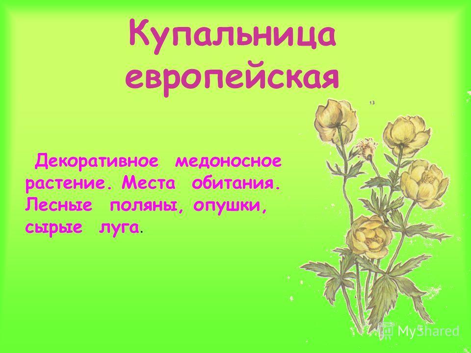 Купальница европейская Декоративное медоносное растение. Места обитания. Лесные поляны, опушки, сырые луга.