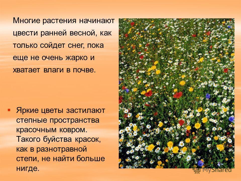 Яркие цветы застилают степные пространства красочным ковром. Такого буйства красок, как в разнотравной степи, не найти больше нигде. Многие растения начинают цвести ранней весной, как только сойдет снег, пока еще не очень жарко и хватает влаги в почв