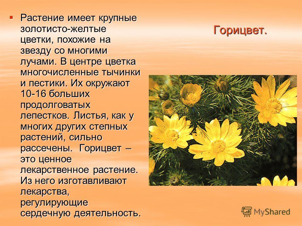 Горицвет. Растение имеет крупные золотисто-желтые цветки, похожие на звезду со многими лучами. В центре цветка многочисленные тычинки и пестики. Их окружают 10-16 больших продолговатых лепестков. Листья, как у многих других степных растений, сильно р