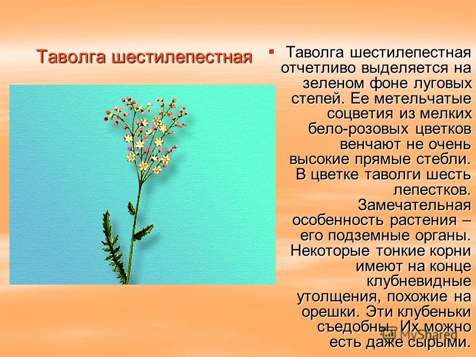 Таволга шестилепестная Таволга шестилепестная отчетливо выделяется на зеленом фоне луговых степей. Ее метельчатые соцветия из мелких бело-розовых цветков венчают не очень высокие прямые стебли. В цветке таволги шесть лепестков. Замечательная особенно