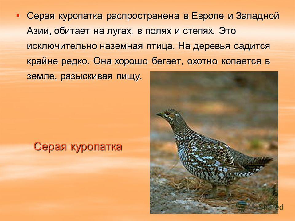 Серая куропатка Серая куропатка распространена в Европе и Западной Азии, обитает на лугах, в полях и степях. Это исключительно наземная птица. На деревья садится крайне редко. Она хорошо бегает, охотно копается в земле, разыскивая пищу. Серая куропат