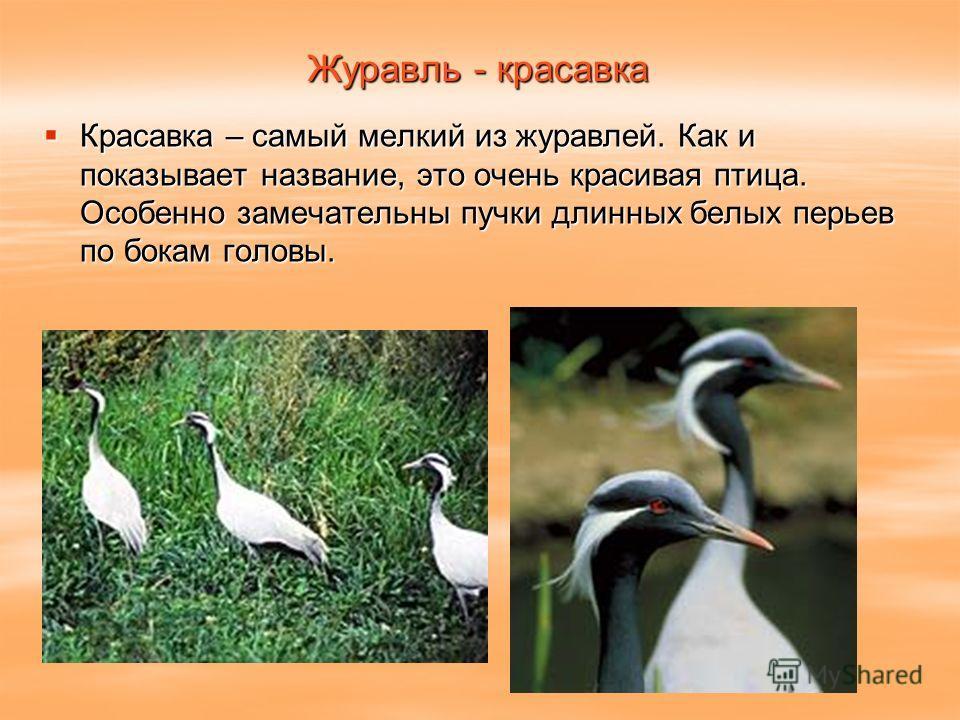Журавль - красавка Красавка – самый мелкий из журавлей. Как и показывает название, это очень красивая птица. Особенно замечательны пучки длинных белых перьев по бокам головы. Красавка – самый мелкий из журавлей. Как и показывает название, это очень к