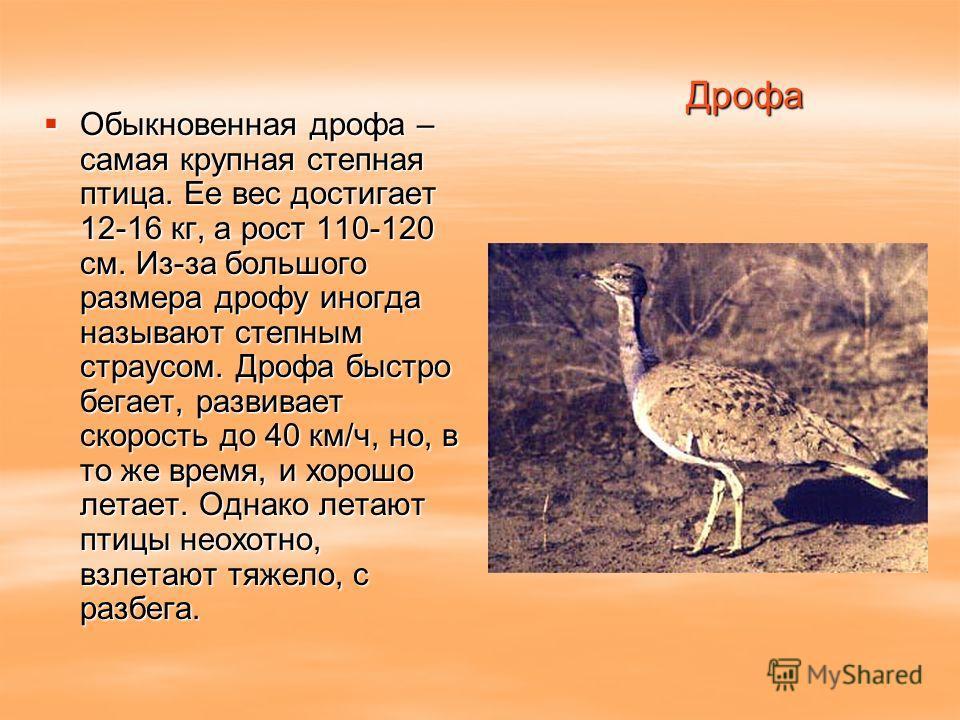 Дрофа Обыкновенная дрофа – самая крупная степная птица. Ее вес достигает 12-16 кг, а рост 110-120 см. Из-за большого размера дрофу иногда называют степным страусом. Дрофа быстро бегает, развивает скорость до 40 км/ч, но, в то же время, и хорошо летае
