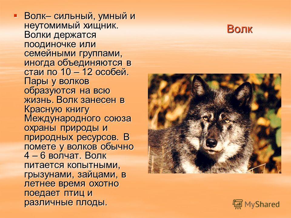 Волк Волк– сильный, умный и неутомимый хищник. Волки держатся поодиночке или семейными группами, иногда объединяются в стаи по 10 – 12 особей. Пары у волков образуются на всю жизнь. Волк занесен в Красную книгу Международного союза охраны природы и п