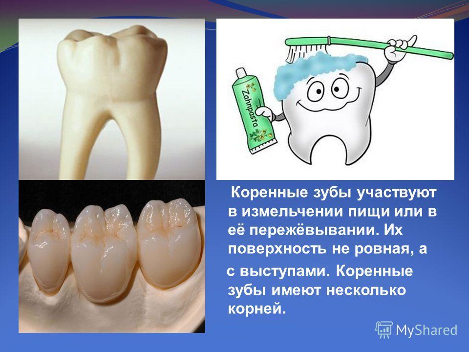 Коренные зубы участвуют в измельчении пищи или в её пережёвывании. Их поверхность не ровная, а с выступами. Коренные зубы имеют несколько корней.