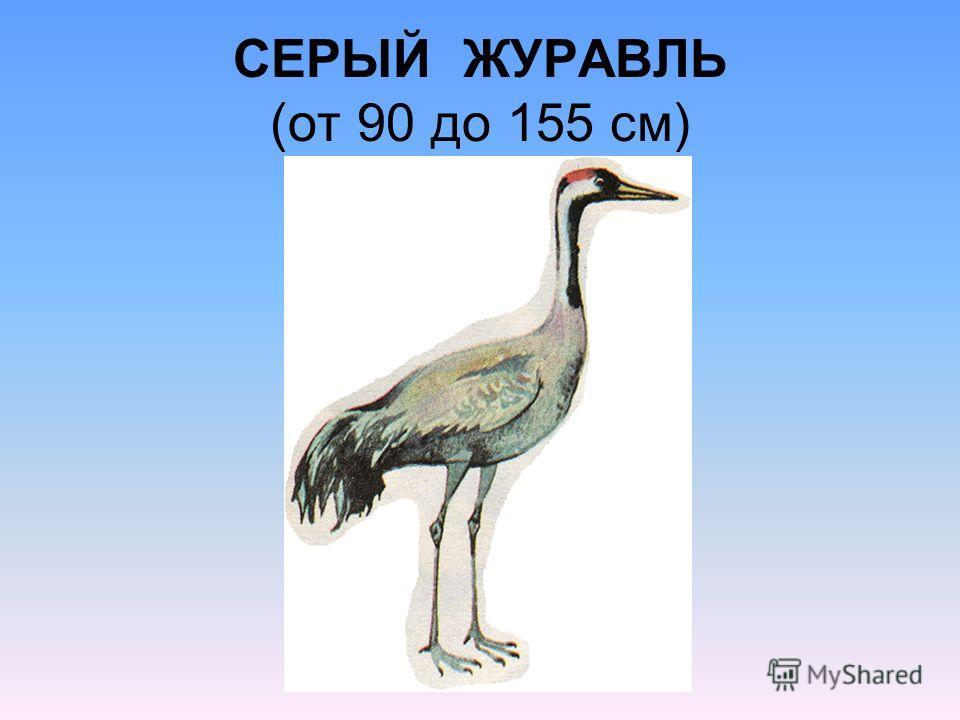 СЕРЫЙ ЖУРАВЛЬ (от 90 до 155 см)