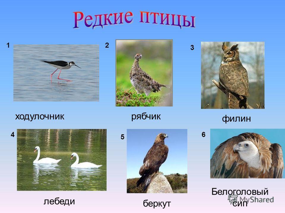 ходулочникрябчик филин лебеди беркут Белоголовый сип 12 3 4 5 6