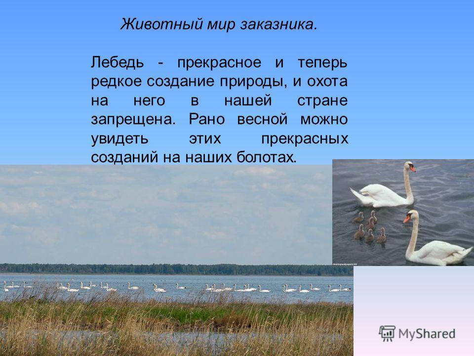 Животный мир заказника. Лебедь - прекрасное и теперь редкое создание природы, и охота на него в нашей стране запрещена. Рано весной можно увидеть этих прекрасных созданий на наших болотах.