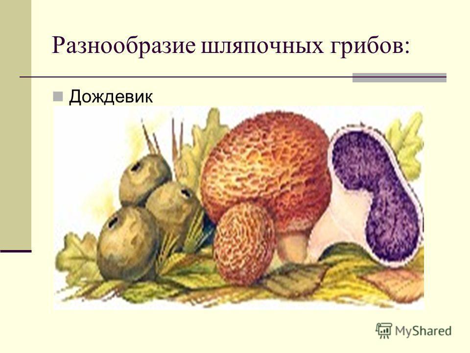 Разнообразие шляпочных грибов: Дождевик