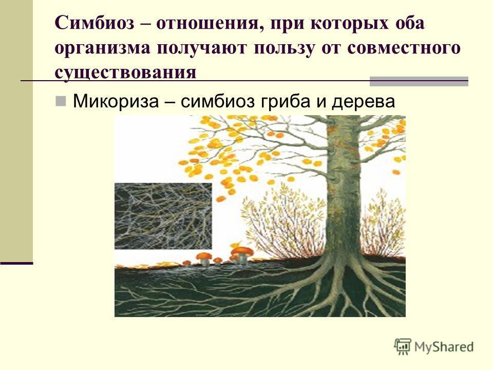Симбиоз – отношения, при которых оба организма получают пользу от совместного существования Микориза – симбиоз гриба и дерева