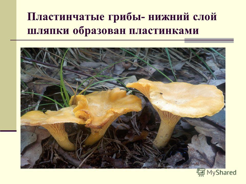 Пластинчатые грибы- нижний слой шляпки образован пластинками
