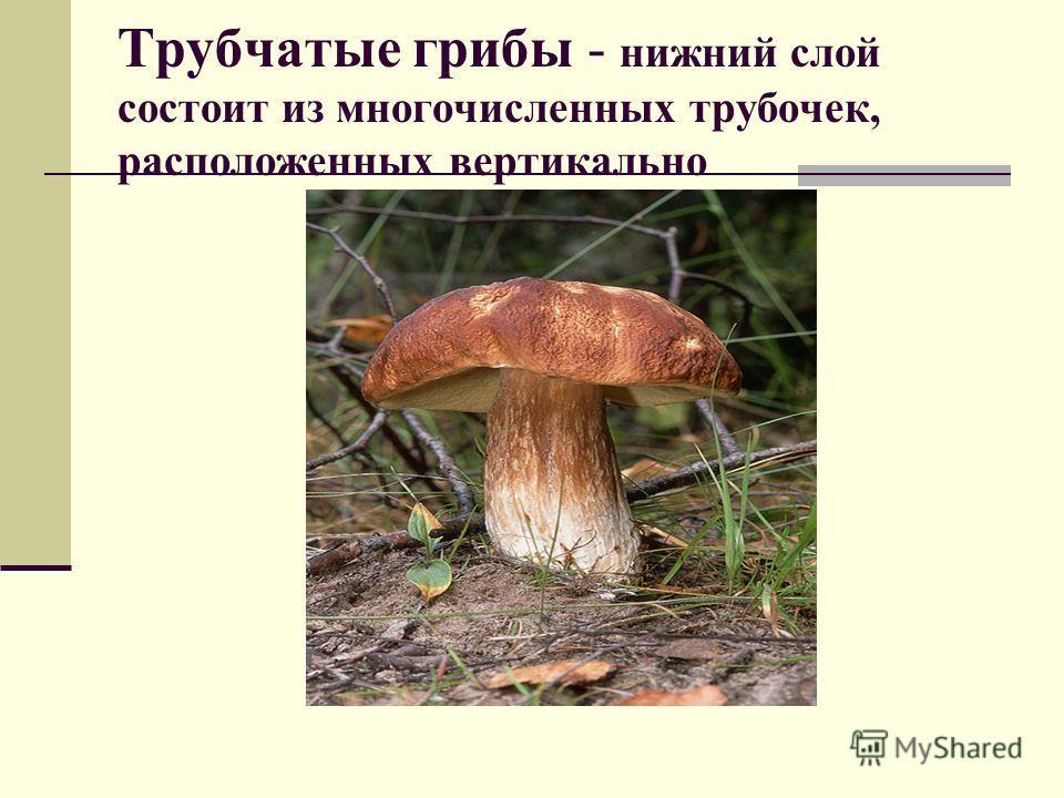 Трубчатые грибы - нижний слой состоит из многочисленных трубочек, расположенных вертикально