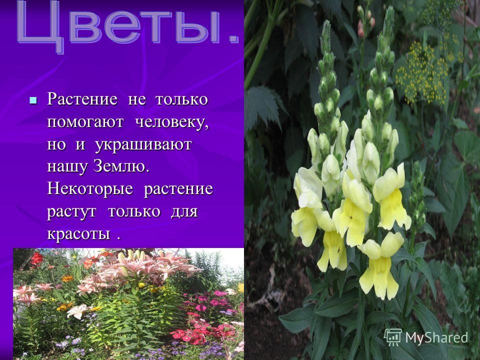 Растение не только помогают человеку, но и украшивают нашу Землю. Некоторые растение растут только для красоты. Растение не только помогают человеку, но и украшивают нашу Землю. Некоторые растение растут только для красоты.