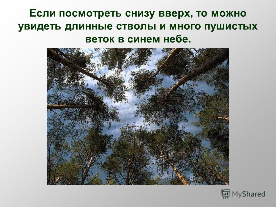Если посмотреть снизу вверх, то можно увидеть длинные стволы и много пушистых веток в синем небе.