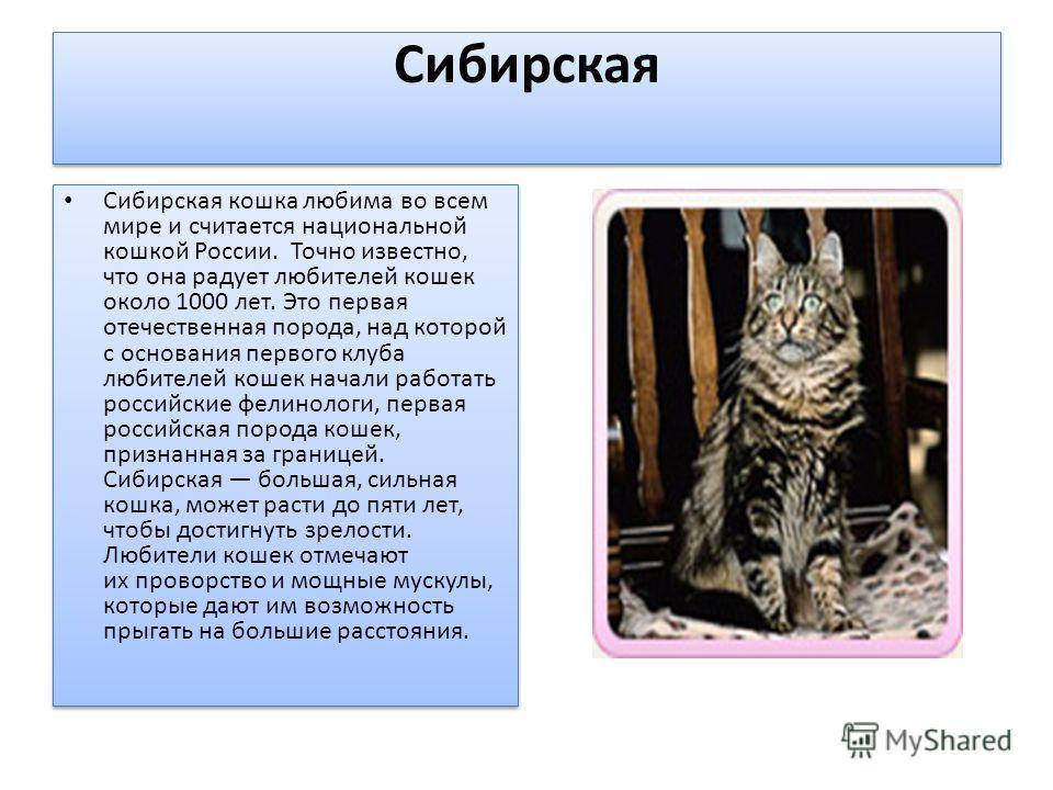 Сибирская Сибирская кошка любима во всем мире и считается национальной кошкой России. Точно известно, что она радует любителей кошек около 1000 лет. Это первая отечественная порода, над которой с основания первого клуба любителей кошек начали работат