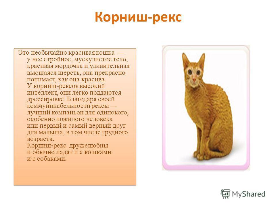 Корниш-рекс Это необычайно красивая кошка у нее стройное, мускулистое тело, красивая мордочка и удивительная вьющаяся шерсть, она прекрасно понимает, как она красива. У корниш-рексов высокий интеллект, они легко поддаются дрессировке. Благодаря своей