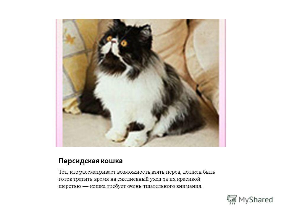 Персидская кошка Тот, кто рассматривает возможность взять перса, должен быть готов тратить время на ежедневный уход за их красивой шерстью кошка требует очень тщательного внимания.