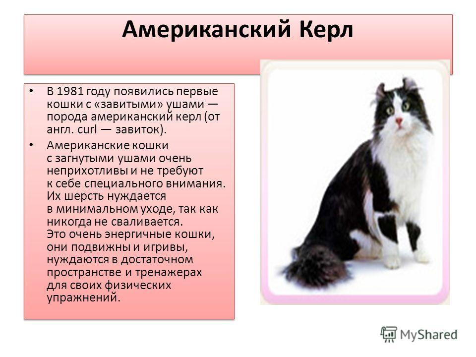 Американский Керл В 1981 году появились первые кошки с «завитыми» ушами порода американский керл (от англ. сurl завиток). Американские кошки с загнутыми ушами очень неприхотливы и не требуют к себе специального внимания. Их шерсть нуждается в минимал