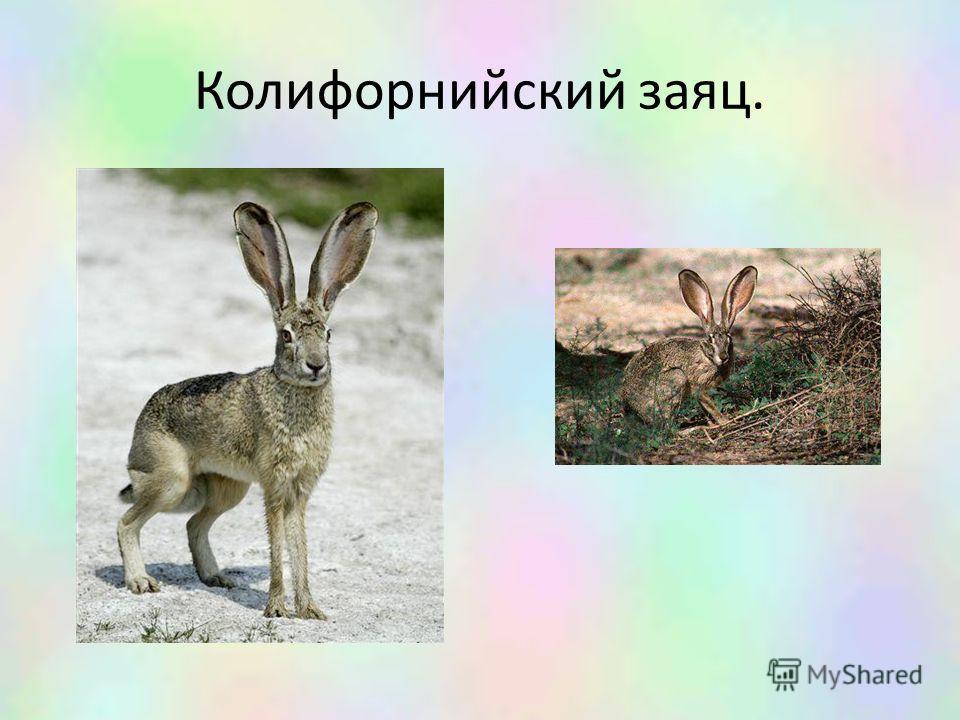 Колифорнийский заяц.