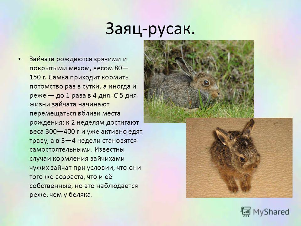 Заяц-русак. Зайчата рождаются зрячими и покрытыми мехом, весом 80 150 г. Самка приходит кормить потомство раз в сутки, а иногда и реже до 1 раза в 4 дня. С 5 дня жизни зайчата начинают перемещаться вблизи места рождения; к 2 неделям достигают веса 30