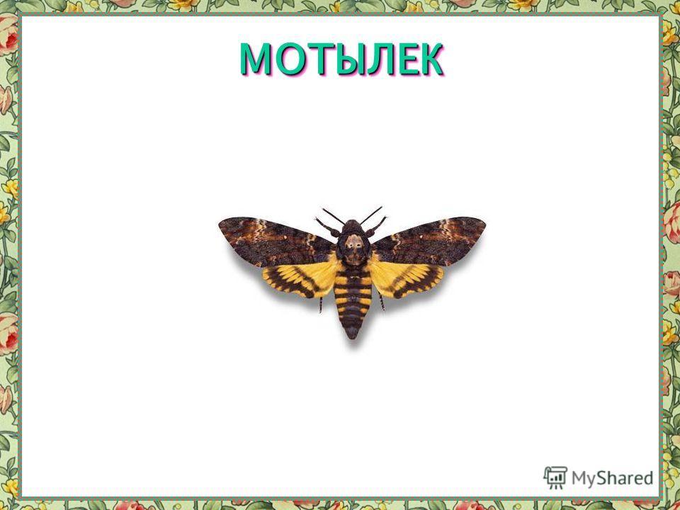 БАБОЧКА-ПТИЦЕКРЫЛБАБОЧКА-ПТИЦЕКРЫЛ