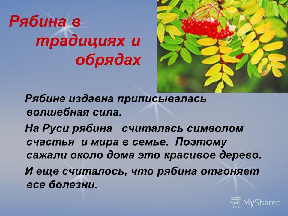 Рябина в традициях и обрядах Рябине издавна приписывалась волшебная сила. На Руси рябина считалась символом счастья и мира в семье. Поэтому сажали около дома это красивое дерево. И еще считалось, что рябина отгоняет все болезни.