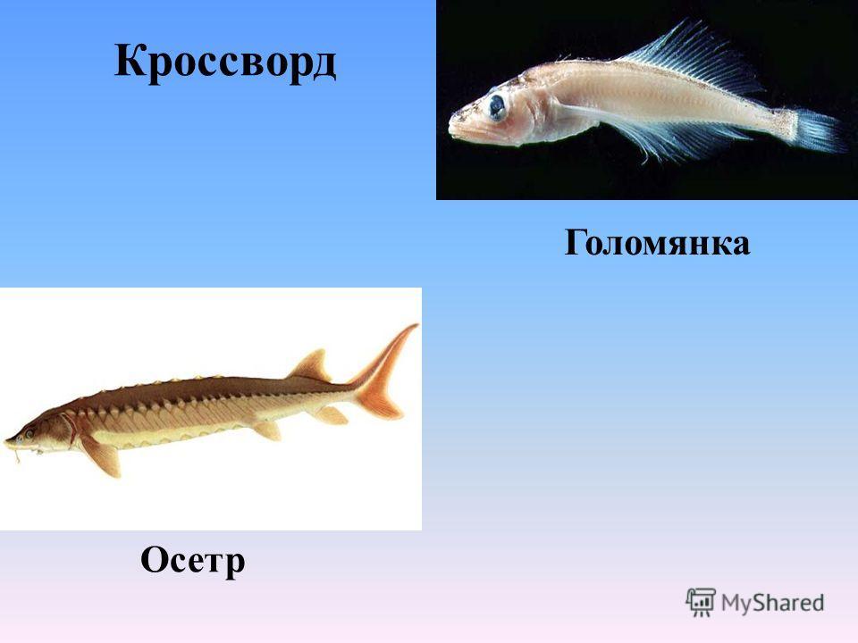 Кроссворд Голомянка Осетр
