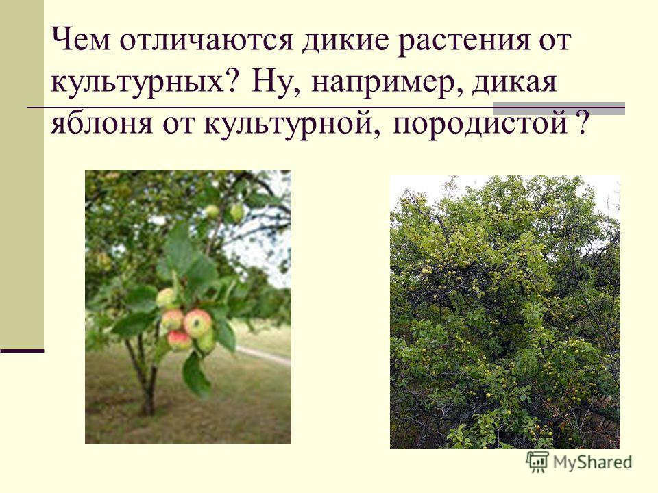 Чем отличаются дикие растения от культурных? Ну, например, дикая яблоня от культурной, породистой ?