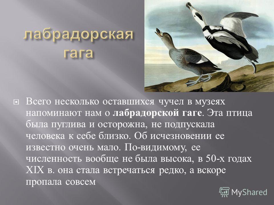 Всего несколько оставшихся чучел в музеях напоминают нам о лабрадорской гаге. Эта птица была пуглива и осторожна, не подпускала человека к себе близко. Об исчезновении ее известно очень мало. По - видимому, ее численность вообще не была высока, в 50-