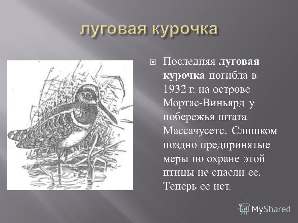 Последняя луговая курочка погибла в 1932 г. на острове Мортас - Виньярд у побережья штата Массачусетс. Слишком поздно предпринятые меры по охране этой птицы не спасли ее. Теперь ее нет.