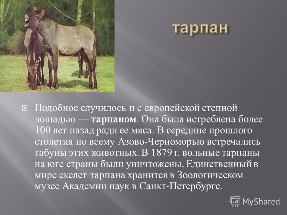 Подобное случилось и с европейской степной лошадью тарпаном. Она была истреблена более 100 лет назад ради ее мяса. В середине прошлого столетия по всему Азово - Черноморью встречались табуны этих животных. В 1879 г. вольные тарпаны на юге страны были