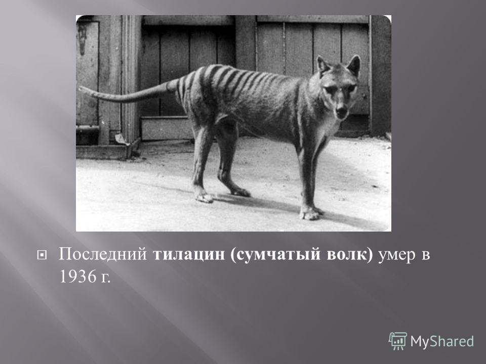Последний тилацин ( сумчатый волк ) умер в 1936 г.