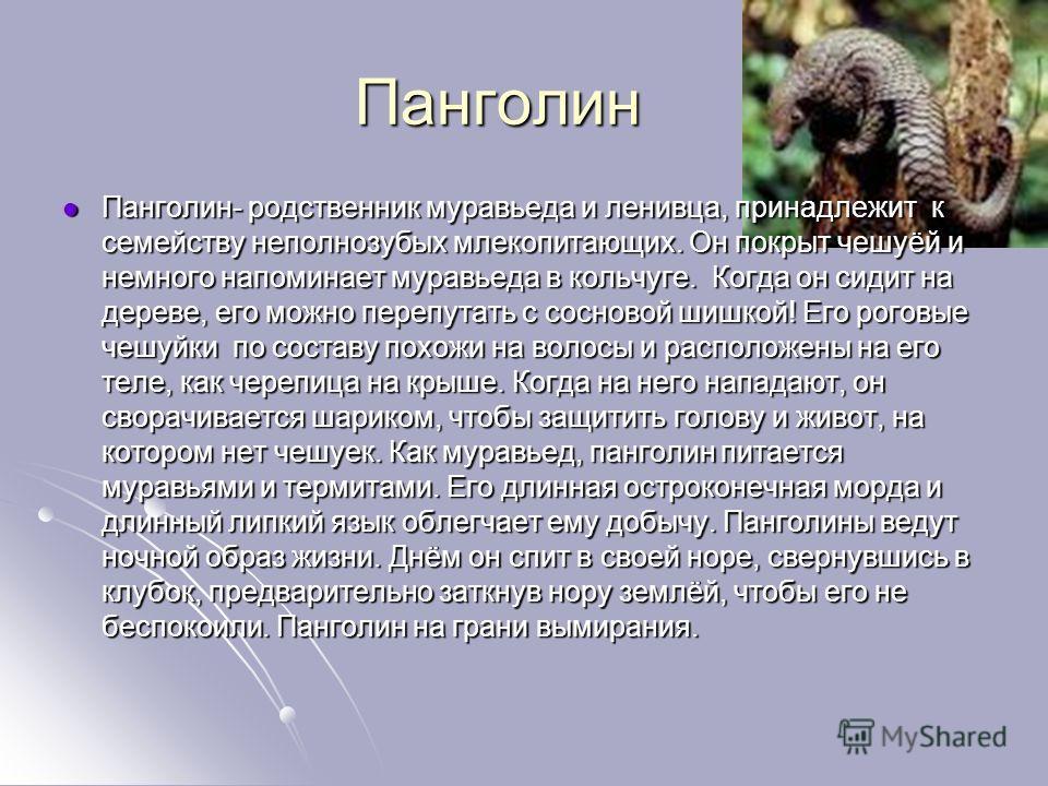Панголин Панголин- родственник муравьеда и ленивца, принадлежит к семейству неполнозубых млекопитающих. Он покрыт чешуёй и немного напоминает муравьеда в кольчуге. Когда он сидит на дереве, его можно перепутать с сосновой шишкой! Его роговые чешуйки
