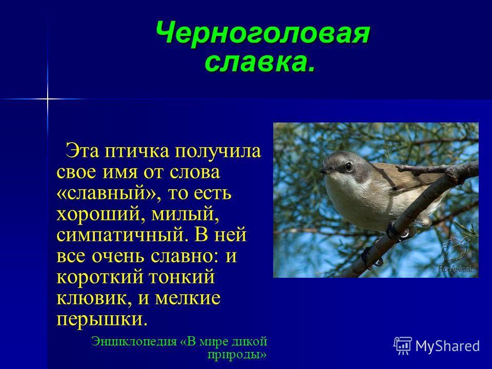 Эта птичка получила свое имя от слова «славный», то есть хороший, милый, симпатичный. В ней все очень славно: и короткий тонкий клювик, и мелкие перышки. Энциклопедия «В мире дикой природы» » Черноголовая славка.