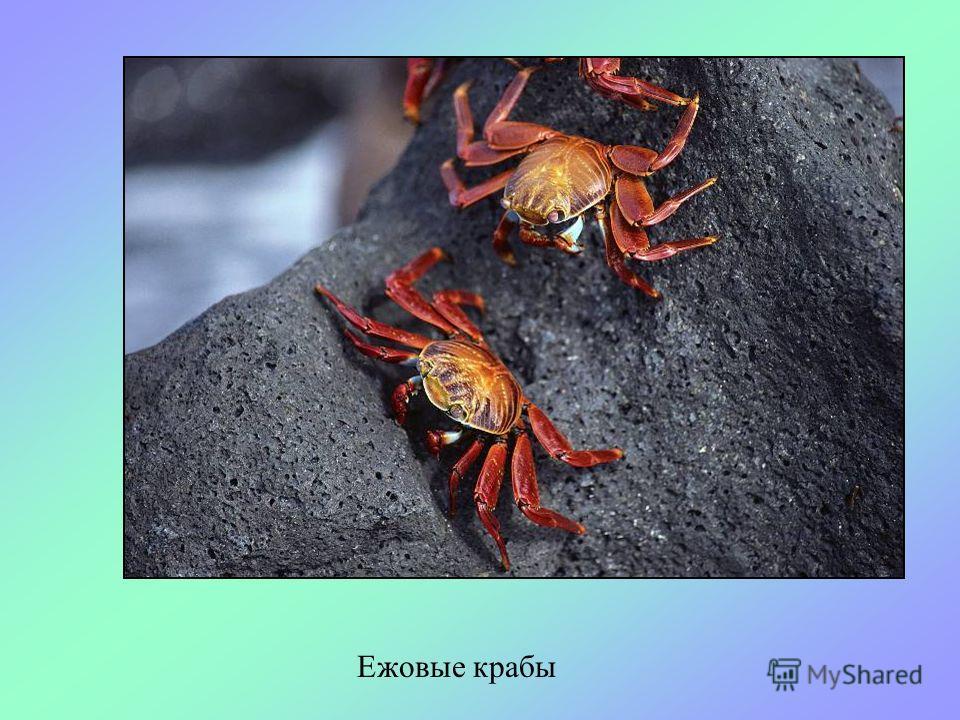 На дне моря, среди камней и на песке живут крабы. Они бывают разных видов. У крабов сильные клешни, которыми они удерживают добычу и защищаются от врагов. КРАБЫ