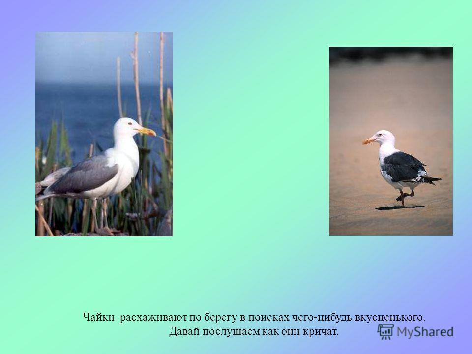 На море часто можно увидеть чайку, это одна из самых крупных птиц на побережье, к тому же самая хитрая и вороватая.