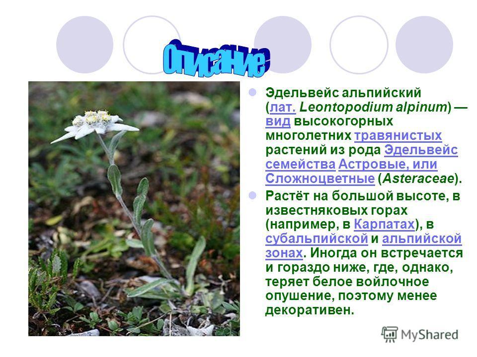 Эдельвейс альпийский (лат. Leontopodium alpinum) вид высокогорных многолетних травянистых растений из рода Эдельвейс семейства Астровые, или Сложноцветные (Asteraceae).лат. видтравянистыхЭдельвейс семействаАстровые, или Сложноцветные Растёт на большо