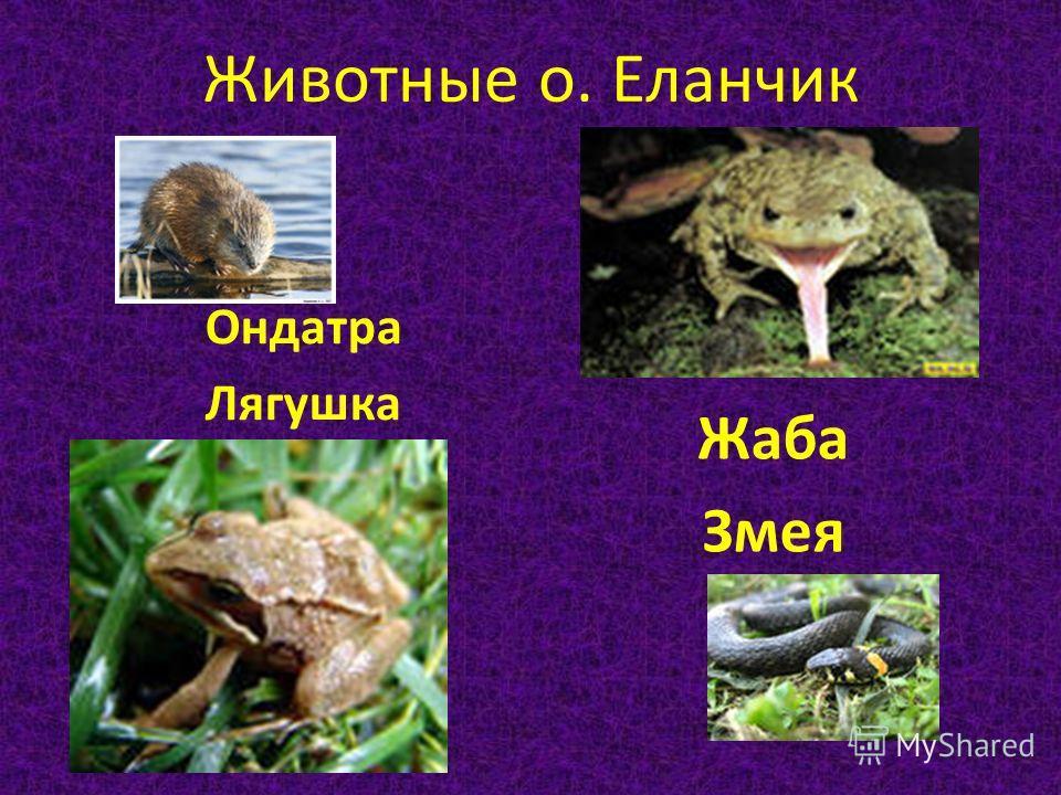 Животные о. Еланчик Ондатра Лягушка Жаба Змея