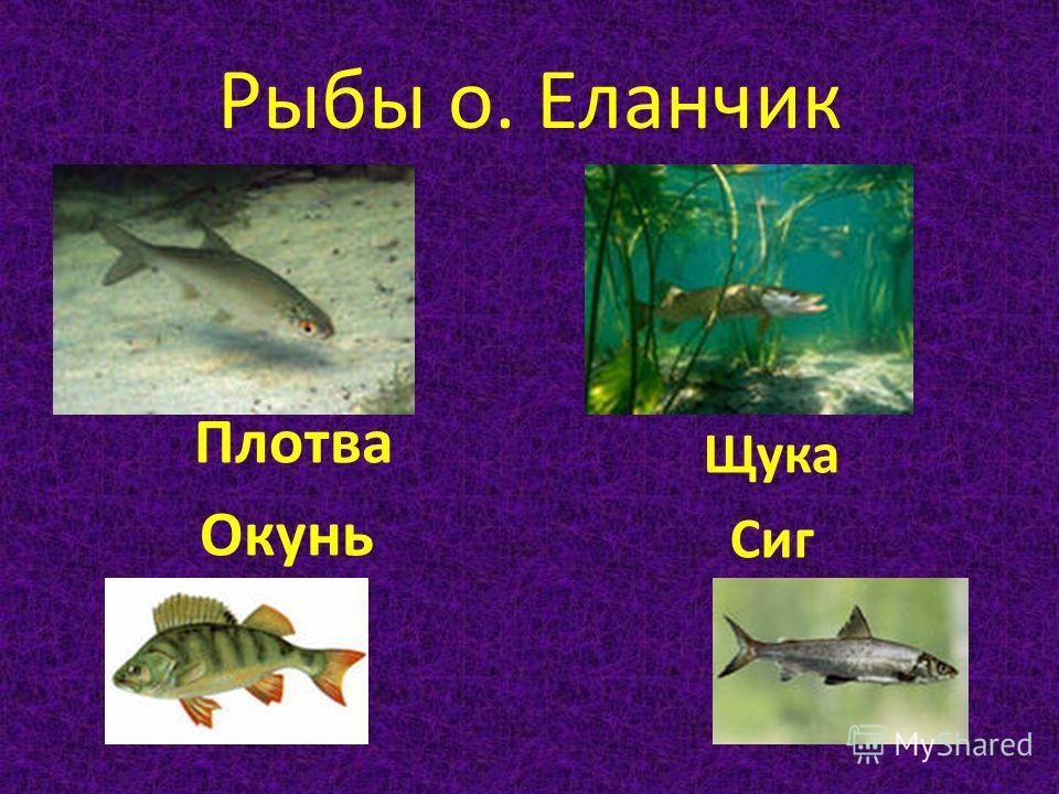 Рыбы о. Еланчик Плотва Окунь Щука Сиг
