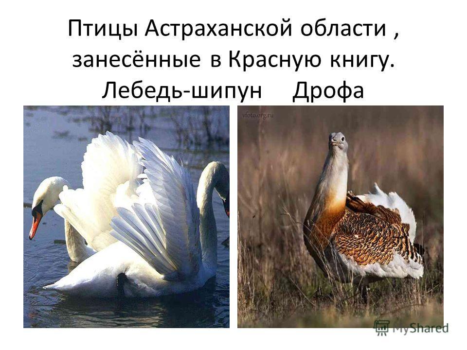 Птицы Астраханской области, занесённые в Красную книгу. Лебедь-шипун Дрофа