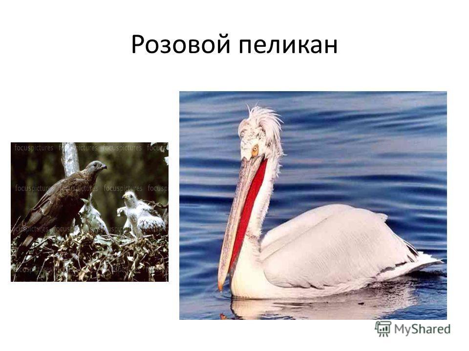 Розовой пеликан