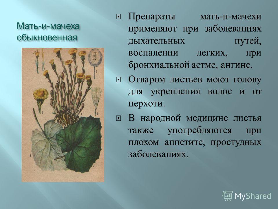 Мать - и - мачеха обыкновенная Препараты мать - и - мачехи применяют при заболеваниях дыхательных путей, воспалении легких, при бронхиальной астме, ангине. Отваром листьев моют голову для укрепления волос и от перхоти. В народной медицине листья такж