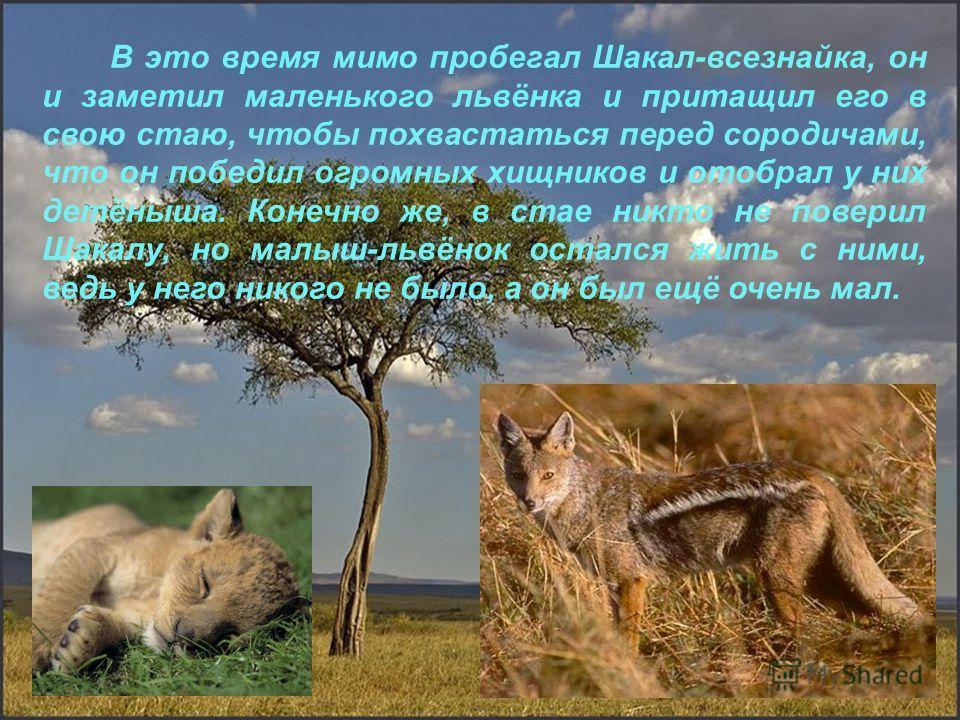 В это время мимо пробегал Шакал-всезнайка, он и заметил маленького львёнка и притащил его в свою стаю, чтобы похвастаться перед сородичами, что он победил огромных хищников и отобрал у них детёныша. Конечно же, в стае никто не поверил Шакалу, но малы